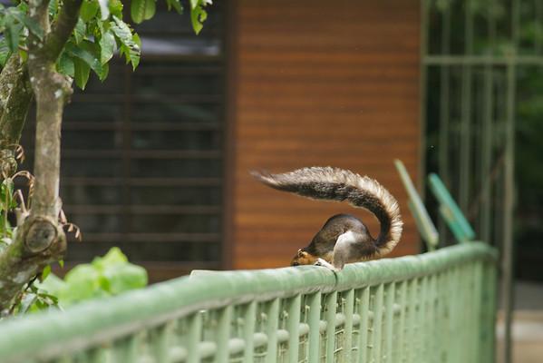 Giant Squirrel November 2012 Sepilok, Sabah IMG_1712