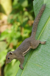 Ear-spot Squirrel November 2012 Sepilok, Sabah IMG_1326