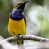 Olive-backed Sunbird (Cinnyris jugularis) - Male<br /> Near Port Douglass, Queensland, Australia