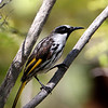 White-cheeked Honeyeater (Phylidonyris niger)<br /> South Queensland, Australia.