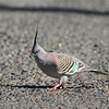Crested Pigeon (Ocyphaps lophotes)<br /> NSW, Australia