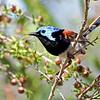 Variegated Fairy-Wren (Malurus lamberti) - Male<br /> South Queensland, Australia.