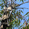Lace Monitor (Varanus varius)<br /> Northern NSW, Australia.  <br /> Seen crossing road, then ran up tree.