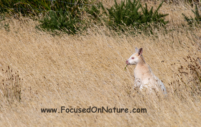 A White Wallaby (Albino Red-necked Wallaby)