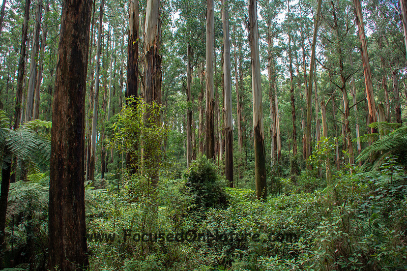 More Dandenong Forest