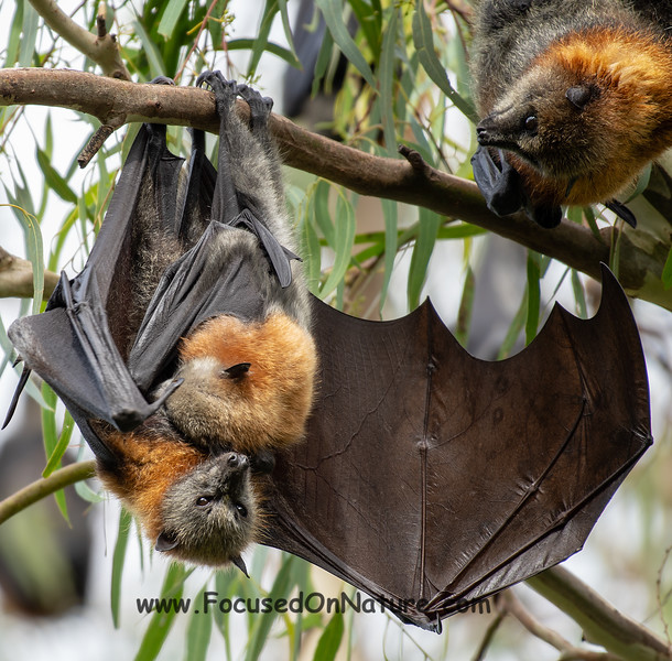 Nursing Grey-headed Flying Fox