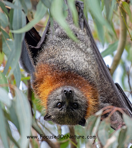 Grey-headed Flying Fox Close-up