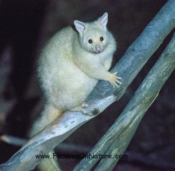 A Golden Possum (Albino