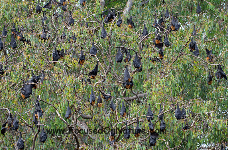 Grey-headed Flying Foxes