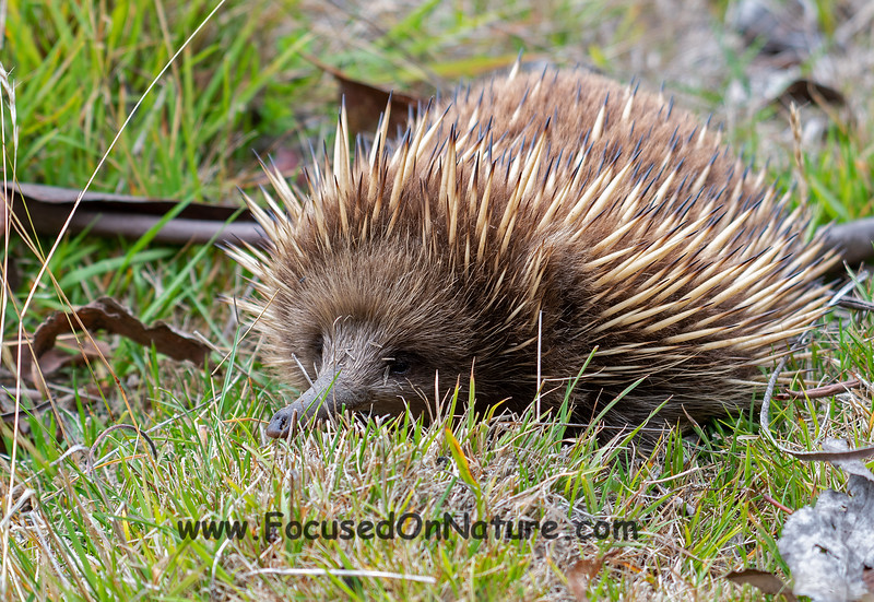 Can't get enough echidna