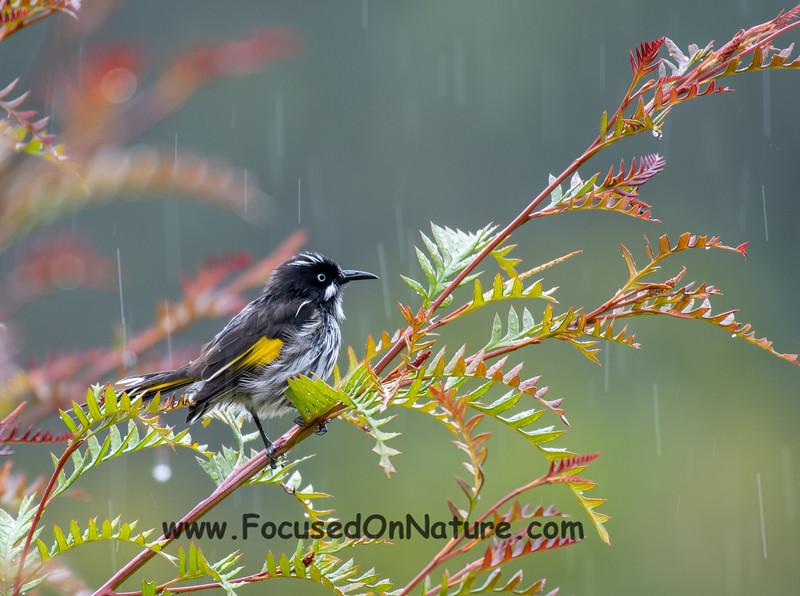 New Holand Honeyeater in the Rain
