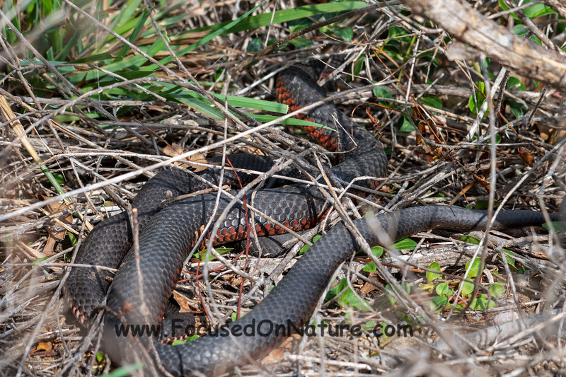 Mating Lowland Copperheads
