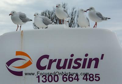 Lazy gulls