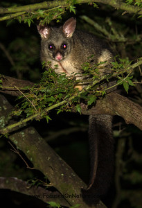 "Brush-tailed Possum (""Brushy"")"