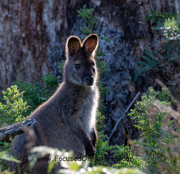Back-lit Wallaby