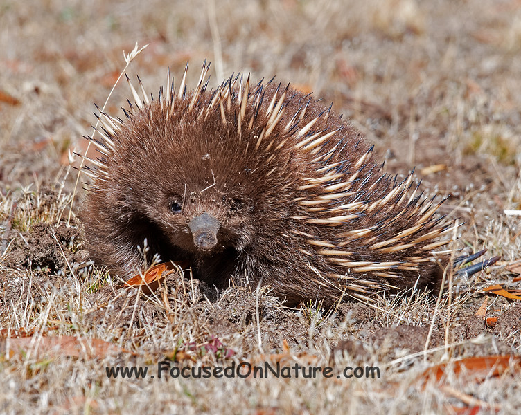A Short-beaked Echidna to be precise