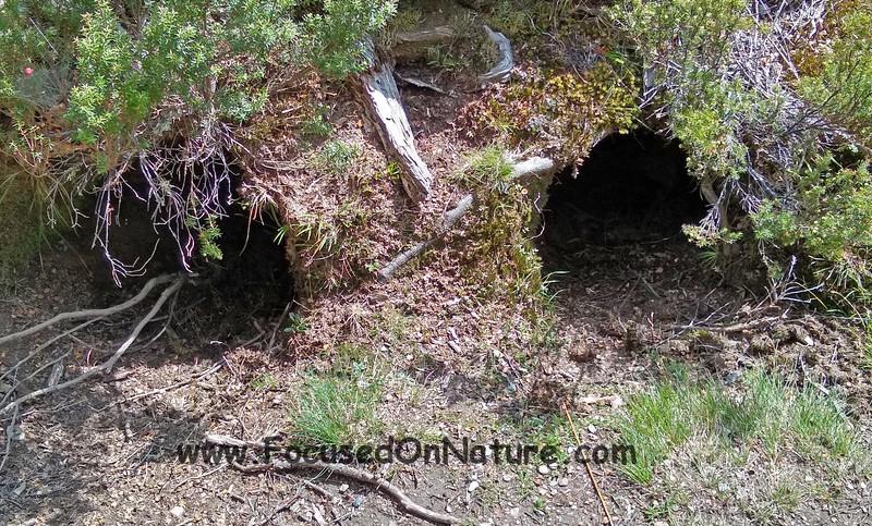 Wombat burrows