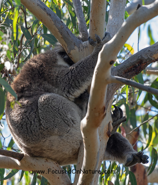 Our 1st Koala, hiding...
