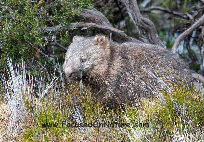 Big Wombat