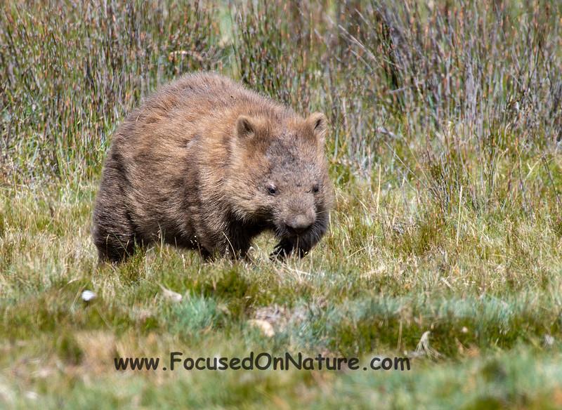 Wombat walking