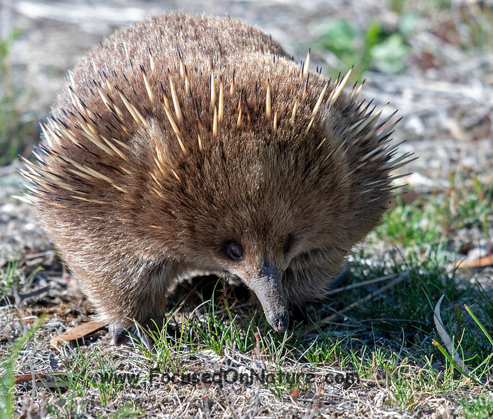 Another Echidna