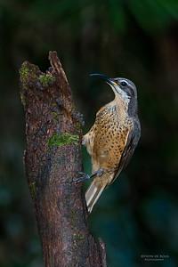 Victoria's Riflebird, f, Lake Eacham, QLD, Dec 2014-4