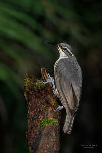 Victoria's Riflebird, f, Lake Eacham, QLD, Dec 2014-5