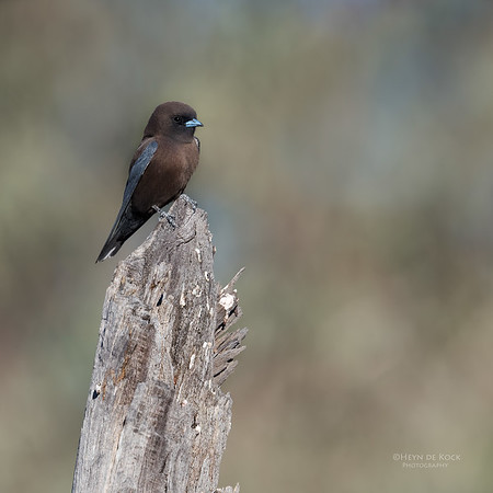 Little Woodswallow, Bowra, Cunnamulla, QLD, Aus, Sept 2017-3