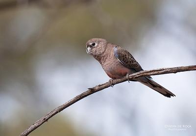 Burke's Parrot, Bowra, QLD, Aus, Jul 2007