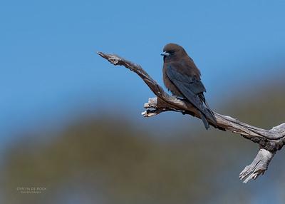 Little Woodswallow, Bowra, Cunnamulla, QLD, Aus, Sept 2017-1