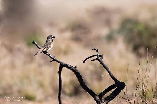 Crested Bellbird, Bowra, Qld, Aus, Jul 2009