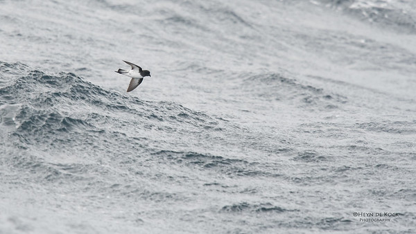 Grey-backed Storm Petrel, Eaglehawk Neck Pelagic, TAS, Sept 2016-2