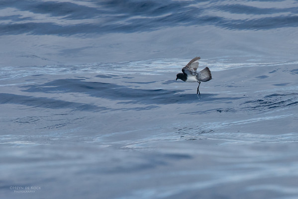 Grey-backed Storm-Petrel, Eaglehawk Neck Pelagic, TAS, July 2015-1