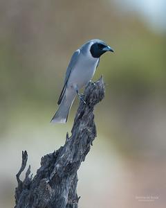 Masked Woodswallow, Gluepot, SA, Aus, Nov 2014-2