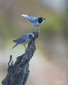 Masked Woodswallows, Gluepot, SA, Aus, Nov 2014-1 copy