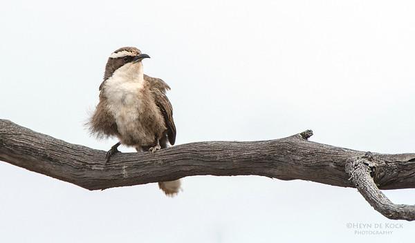 White-browed Babbler, Gluepot, SA, Aus, Aug 2012