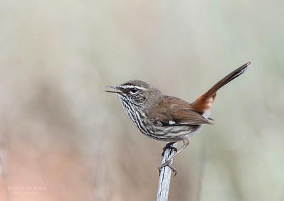 Shy Heathwren, Gluepot, SA, Aus, Aug 2012-1