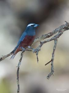 White-browed Woodswallow, Gluepot, SA, Aus, Nov 2014-1