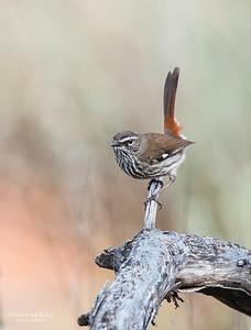 Shy Heathwren, Gluepot, SA, Aus, Aug 2012-2