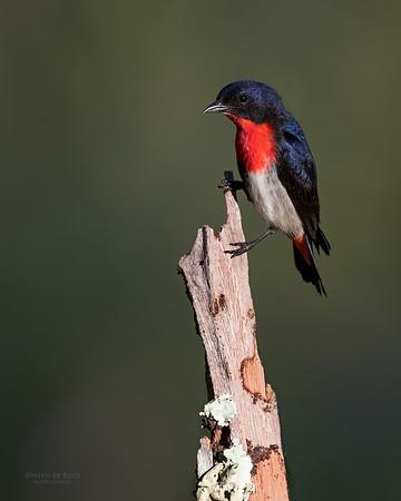 Mistletoebird, Hinterland Regional Park, Gold Coast, QLD, Aus, Sept 2017-1