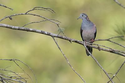 Bar-Shouldered Dove, Mudgeeraba, April 2017