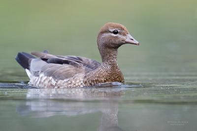 Maned Duck, f, Gold Coast Hinterland Park, QLD, Sept 2016-2