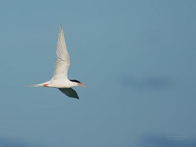 Roseate Tern, Lady Elliot Island, QLD, Dec 2015-5