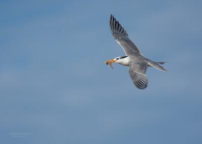 Lesser Crested Tern, Lady Elliot Island, QLD, Dec 2015-1