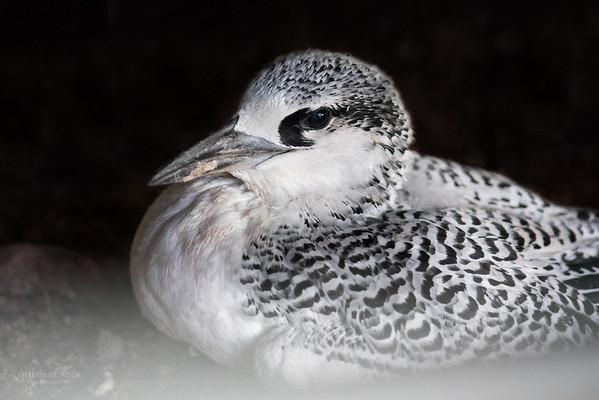 Red-tailed Tropicbird, Juv, Lady Elliot Island, QLD, Dec 2015-1