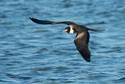 Lesser Friagtebird, Lady Elliot Island, QLD, Dec 2015-2