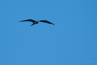 Lesser Friagtebird, Lady Elliot Island, QLD, Dec 2015-7