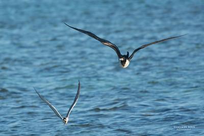 Lesser Friagtebird, Lady Elliot Island, QLD, Dec 2015-4