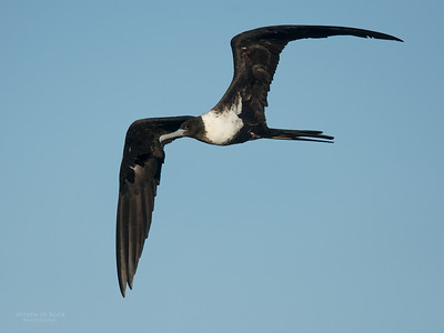 Lesser Frigatebird, f, Lady Elliot Island, QLD, Dec 2015-1