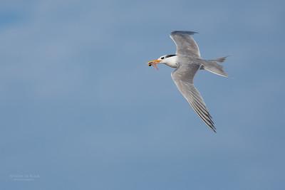 Lesser Crested Tern, Lady Elliot Island, QLD, Dec 2015-2
